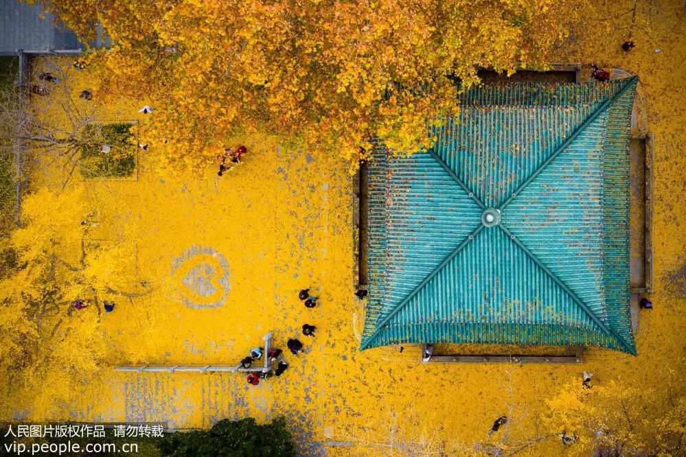 """南京:银杏叶落铺""""金毯"""""""