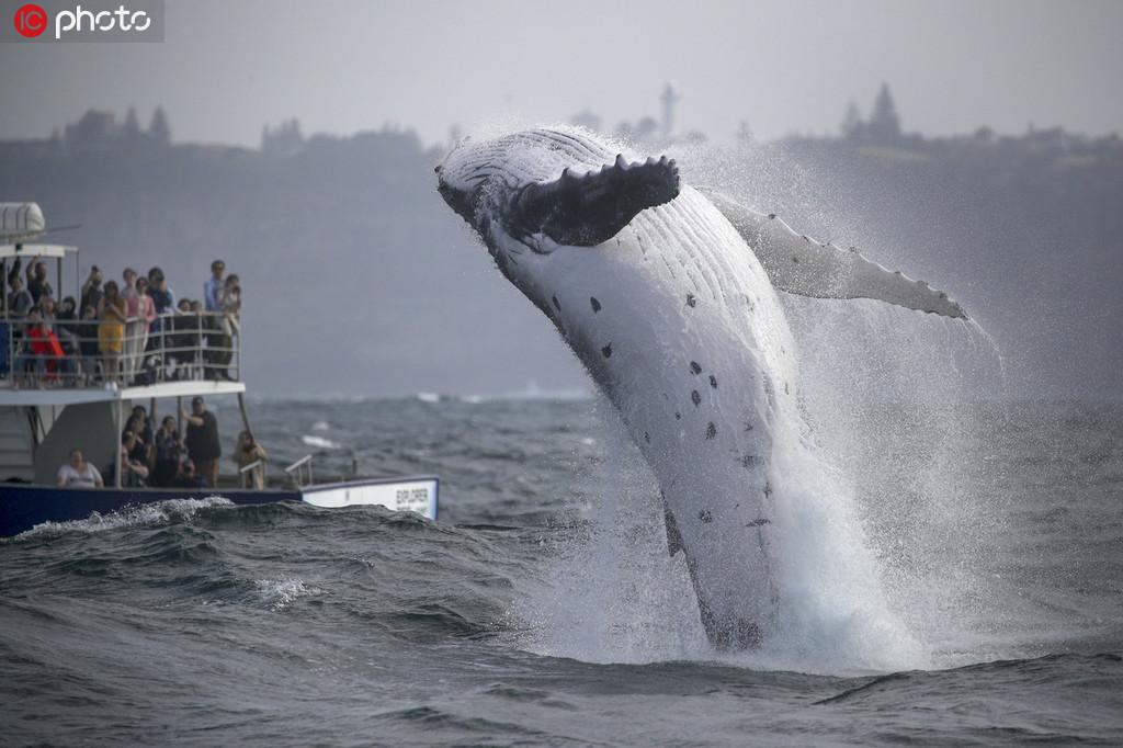 座头鲸宝宝腾空跃出海面【3】