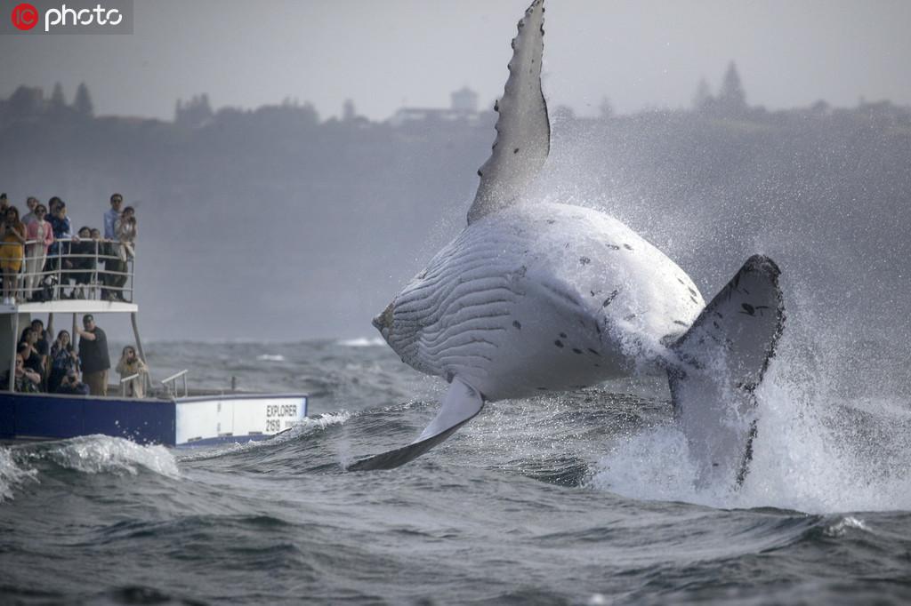 惊喜一刻:海上游客看到座头鲸宝宝腾空跃出海面