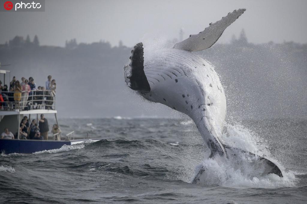 座头鲸宝宝腾空跃出海面【2】