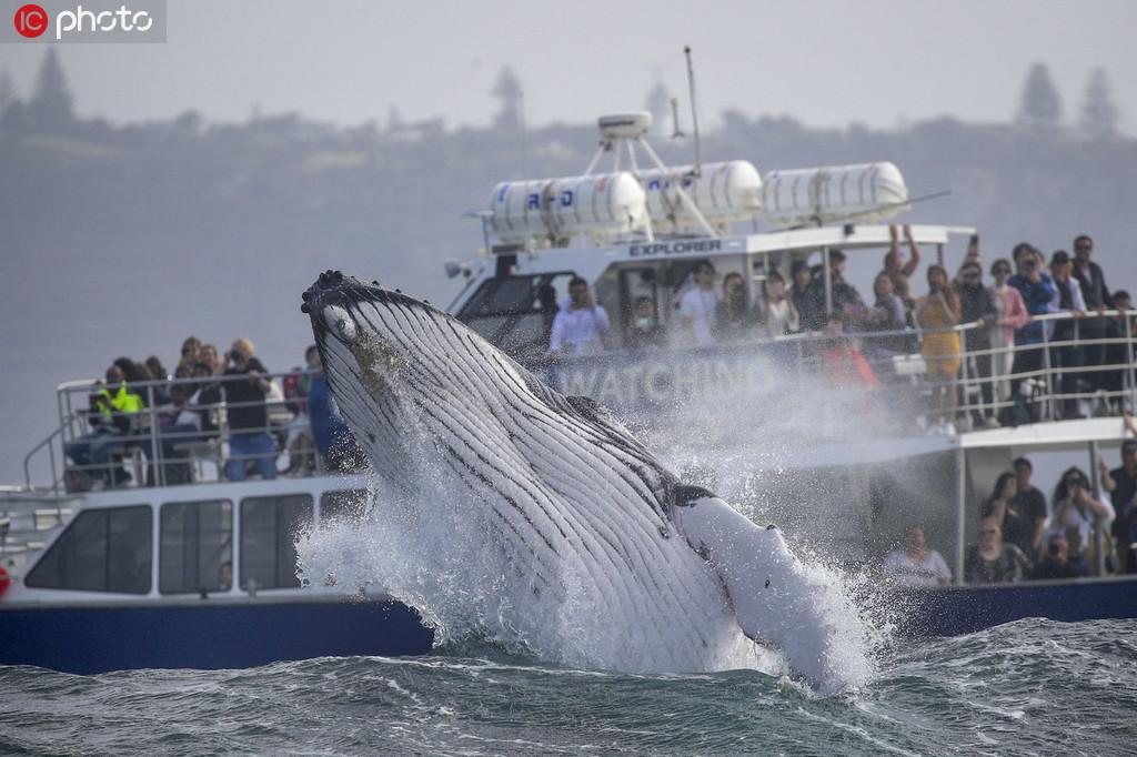 座头鲸宝宝腾空跃出海面【4】