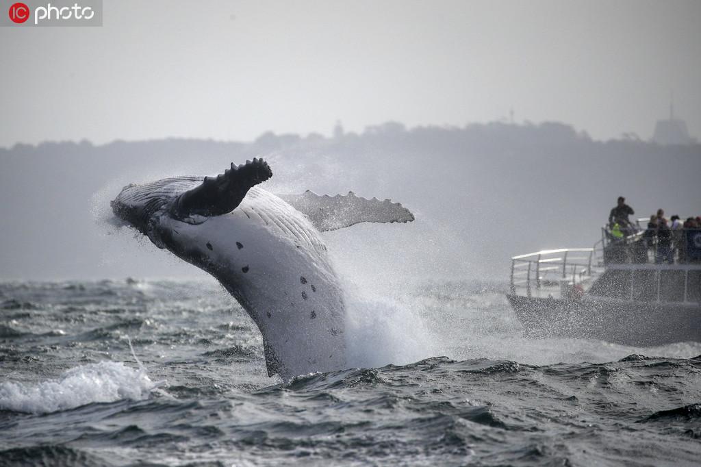 座头鲸宝宝腾空跃出海面【5】
