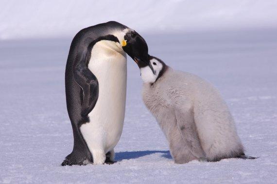 全球气候变暖 企鹅家族中体形最大的成员——帝企鹅或将在本世纪末灭绝