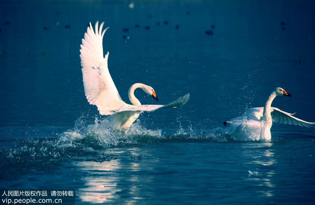 黄河湿地天鹅起舞