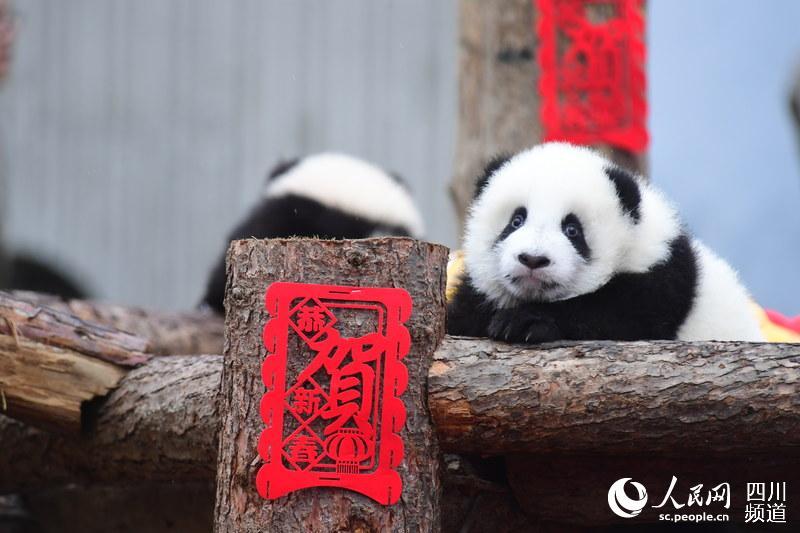 熊猫宝宝在成都集体亮相给大家拜年啦!