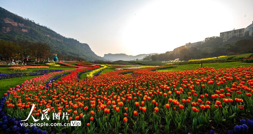 四川泸州:春回大地暖,郁金香满园